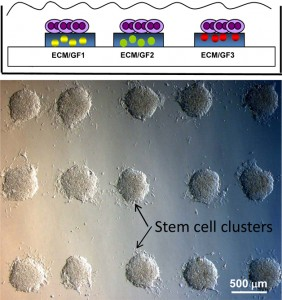 Stem cell clusters growing on a glass side. Drawing shows stem cells placed on top of spots containing growth factors printed on a glass slide. Photo Credit: Alexander Revzin