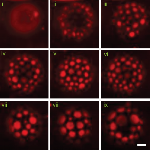 Vesicles exposed to HCV-AH peptide show damage as membranes are reorganized. (JM Hanson).